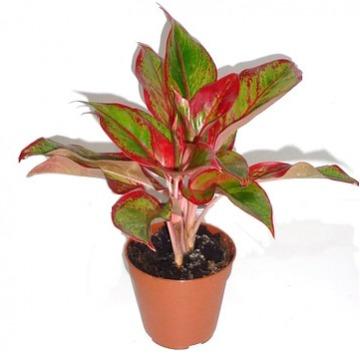 Купить АГЛАОНЕМА КРИТ в интернет-магазине - Продажа настольных растений для дома и офиса в Санкт-Петербурге