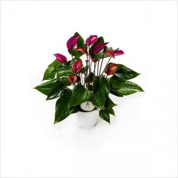 Купить АНТУРИУМ Андре фиолетовый в интернет-магазине - Продажа комнатных цветов для дома и офиса в Санкт-Петербурге