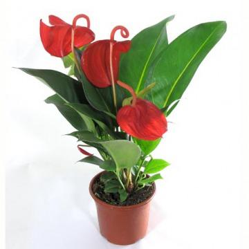 Купить АНТУРИУМ Шерцера в интернет-магазине - Продажа комнатных цветов для дома и офиса в Санкт-Петербурге