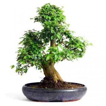 Купить Бирючина в интернет-магазине - Продажа деревьев бонсай в Санкт-Петербурге