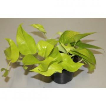 Купить ЭПИПРЕМНУМ ГОЛДЕН подвесной в интернет-магазине - Продажа ампельных растений для дома и офиса в Санкт-Петербурге