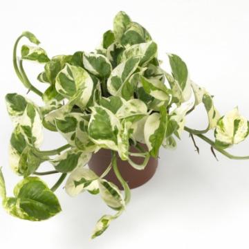 Купить ЭПИПРЕМНУМ ПИННАТУМ подвесной в интернет-магазине - Продажа ампельных растений для дома и офиса в Санкт-Петербурге
