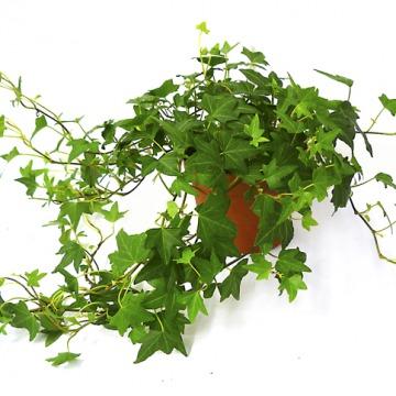 Купить ХЕДЕРА ХЕЛИКС в интернет-магазине - Продажа ампельных растений для дома и офиса в Санкт-Петербурге