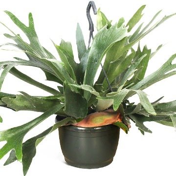 Купить ПЛАТИЦЕРИУМ БИФУРКАТУМ подвесной в интернет-магазине - Продажа ампельных растений для дома и офиса в Санкт-Петербурге