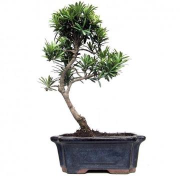 Купить Подокарпус в интернет-магазине - Продажа деревьев бонсай в Санкт-Петербурге