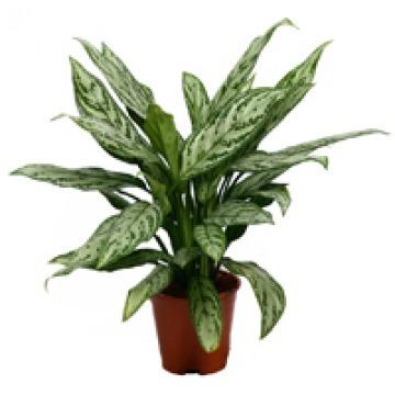 Купить АГЛАОНЕМА СИЛЬВЕР КВИН в интернет-магазине - Продажа настольных растений для дома и офиса в Санкт-Петербурге