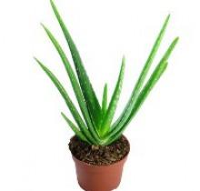 Купить АЛОЭ ВЕРА в интернет-магазине - Продажа кактусов и суккулентов для дома и офиса в Санкт-Петербурге