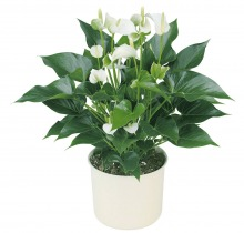 Где купить цветы в горшках в санкт-петербу цветы в ялте купить