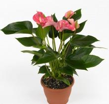 Купить дешево цветы в горшке в офис доставка цветов композиция