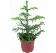 Купить АРАУКАРИЯ в интернет-магазине - Продажа настольных растений для дома и офиса в Санкт-Петербурге