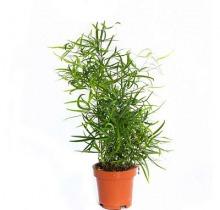 Купить АСПАРАГУС ФАЛКАТУС в интернет-магазине - Продажа настольных растений для дома и офиса в Санкт-Петербурге