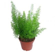 Купить АСПАРАГУС МЕЙЕРС в интернет-магазине - Продажа настольных растений для дома и офиса в Санкт-Петербурге