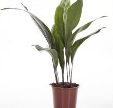 Купить АСПИДИСТРА ЭЛАТИОР в интернет-магазине - Продажа настольных растений для дома и офиса в Санкт-Петербурге