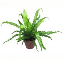 Купить АСПЛЕНИУМ АНТИКУМ Осака в интернет-магазине - Продажа настольных растений для дома и офиса в Санкт-Петербурге