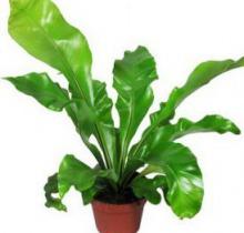 Купить АСПЛЕНИУМ НИДУС в интернет-магазине - Продажа настольных растений для дома и офиса в Санкт-Петербурге