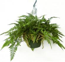 Купить ДАВАЛЛИЯ подвесная в интернет-магазине - Продажа ампельных растений для дома и офиса в Санкт-Петербурге