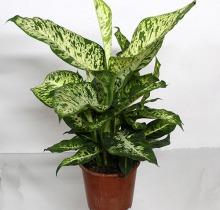 Купить ДИФФЕНБАХИЯ микс в интернет-магазине - Продажа настольных растений для дома и офиса в Санкт-Петербурге