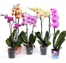 Купить ФАЛЕНОПСИС 2 ствола в интернет-магазине - Продажа орхидей в горшках для дома в Санкт-Петербурге