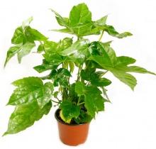 Купить ФАТСИЯ в интернет-магазине - Продажа настольных растений для дома и офиса в Санкт-Петербурге