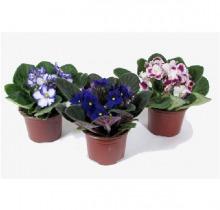 Купить ФИАЛКА в ассортименте в интернет-магазине - Продажа комнатных цветов для дома и офиса в Санкт-Петербурге
