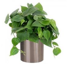 Купить ФИЛОДЕНДРОН подвесной в интернет-магазине - Продажа ампельных растений для дома и офиса в Санкт-Петербурге