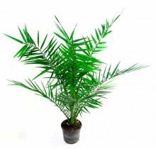 Купить ФИНИК КАНАРАСКИЙ в интернет-магазине - Продажа домашних пальм в Санкт-Петербурге