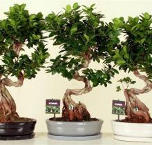 Купить Фикус Гинсенг Бонсай в интернет-магазине - Продажа деревьев бонсай в Санкт-Петербурге