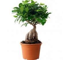 Купить Фикус Гинсенг Микрокарпа в интернет-магазине - Продажа деревьев бонсай в Санкт-Петербурге