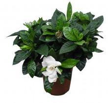 Купить ГАРДЕНИЯ в интернет-магазине - Продажа комнатных цветов для дома и офиса в Санкт-Петербурге