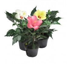 Купить ГИБИСКУС в интернет-магазине - Продажа комнатных цветов для дома и офиса в Санкт-Петербурге