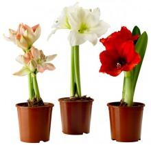 Купить ГИППЕАСТРУМ в интернет-магазине - Продажа комнатных цветов для дома и офиса в Санкт-Петербурге