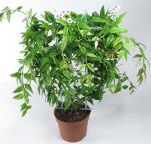 Купить ХОЙЯ Белла в интернет-магазине - Продажа ампельных растений для дома и офиса в Санкт-Петербурге