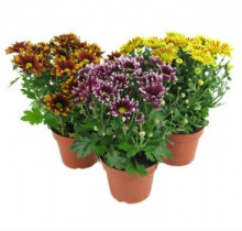 Купить ХРИЗАНТЕМА в интернет-магазине - Продажа комнатных цветов для дома и офиса в Санкт-Петербурге