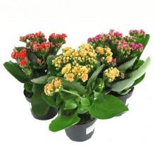 Купить КАЛАНХОЕ Каландива микс в интернет-магазине - Продажа комнатных цветов для дома и офиса в Санкт-Петербурге