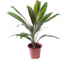 Купить КОРДИЛИНА КИВИ в интернет-магазине - Продажа настольных растений для дома и офиса в Санкт-Петербурге