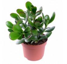 Купить КРАССУЛА ОВАТА в интернет-магазине - Продажа кактусов и суккулентов для дома и офиса в Санкт-Петербурге
