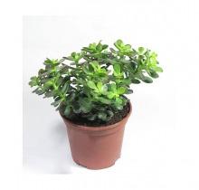Купить КРАССУЛА ОВАТА МИНОР в интернет-магазине - Продажа кактусов и суккулентов для дома и офиса в Санкт-Петербурге