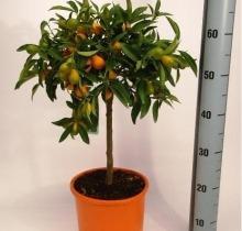 Купить КУМКВАТ в интернет-магазине - Продажа цитрусовых растений для дома в Санкт-Петербурге