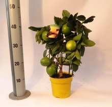Купить ЛИМОН Вулкан в интернет-магазине - Продажа цитрусовых растений для дома в Санкт-Петербурге