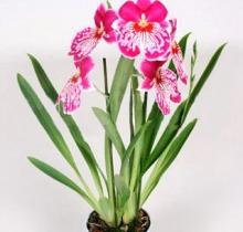 Купить МИЛЬТОНИЯ микс в интернет-магазине - Продажа орхидей в горшках для дома в Санкт-Петербурге