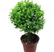 Купить МИРТ в интернет-магазине - Продажа настольных растений для дома и офиса в Санкт-Петербурге