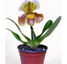 Купить ПАФИОПЕДИЛУМ в интернет-магазине - Продажа орхидей в горшках для дома в Санкт-Петербурге