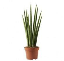 Купить САНСЕВИЕРИЯ ЦИЛИНДРИКА в интернет-магазине - Продажа настольных растений для дома и офиса в Санкт-Петербурге