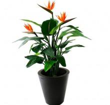 Купить СТРЕЛИЦИЯ КОРОЛЕВСКАЯ в интернет-магазине - Продажа комнатных цветов для дома и офиса в Санкт-Петербурге