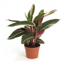 Купить СТРОМАНТА Триостар в интернет-магазине - Продажа настольных растений для дома и офиса в Санкт-Петербурге