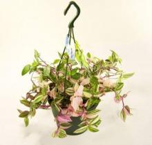 Купить ТРАДЕСКАНЦИЯ КВАДРИКОЛОР подвесная в интернет-магазине - Продажа ампельных растений для дома и офиса в Санкт-Петербурге