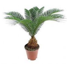 Купить ЦИКАС РЕВОЛЮТА (САГОВНИК) в интернет-магазине - Продажа домашних пальм в Санкт-Петербурге