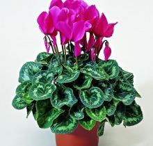 Купить ЦИКЛАМЕНЫ микс в интернет-магазине - Продажа комнатных цветов для дома и офиса в Санкт-Петербурге