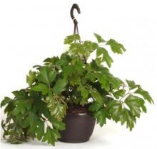 Купить ЦИССУС  Элен Даника в интернет-магазине - Продажа ампельных растений для дома и офиса в Санкт-Петербурге