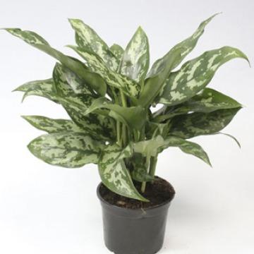 Купить АГЛАОНЕМА МАРИЯ в интернет-магазине - Продажа настольных растений для дома и офиса в Санкт-Петербурге